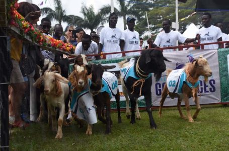 All Set for Saturday's Annual Ascot Goat Race in Munyonyo