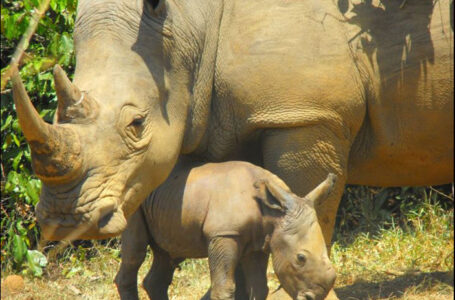 BLOW: Nandi, Mother Rhino Buried At Ziwa Rhino Sanctuary