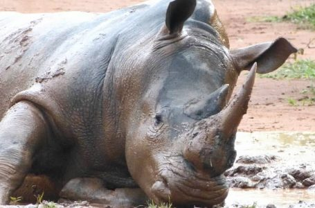 LEAKED: UWA Conceals Death Of Rhino Hassani, Staff Threatened With Jail Terms